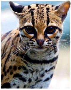 Εικόνα Γάτα με ρίγες τίγρη
